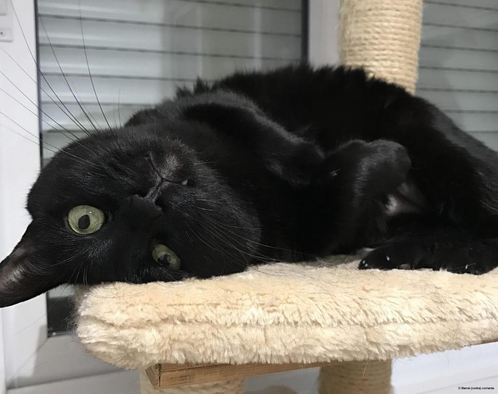 Gato negro achuchable