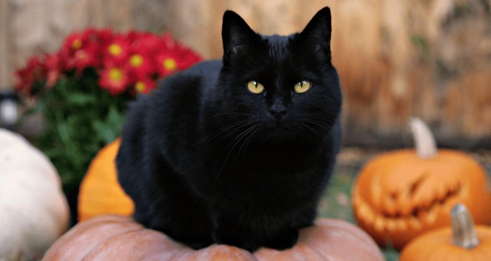 ¿Por qué los gatos negros se asocian con Halloween? Origen de su mala fama