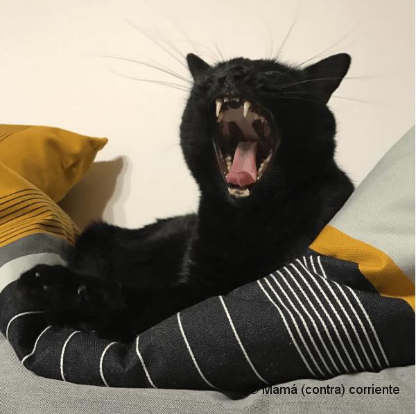 Gato negro bostezando